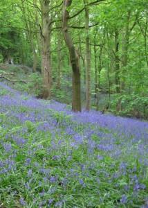 Bluebells in Hopyards & Big Woods