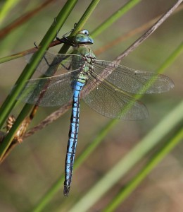 Emperor Dragonfly at the Scrape