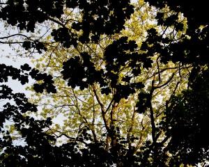 Canopy C David
