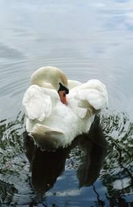 Swan S Walker