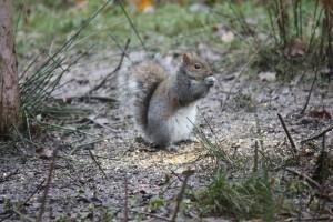 Grey Squirrel W Harmston (Aged 9)