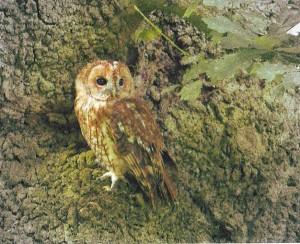 Tawny Owl T A Baker