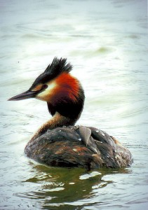 Great Crested Grebe T A Baker