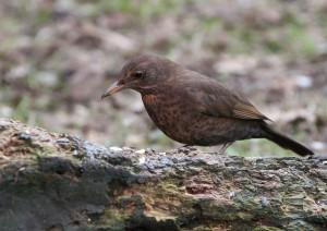 Blackbird A Redley