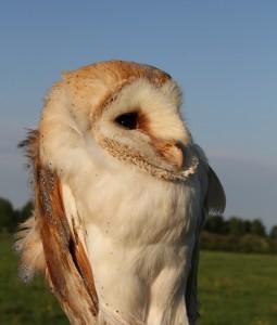 Barn Owl A Redley