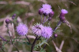 The creeping thistle is a common 'weed' with a surprising fragrance that attracts butterflies.