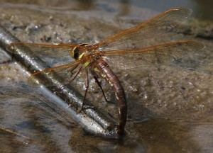 Brown Hawker oviposting