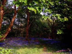 Big Wood Bluebells P Leicester