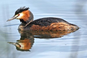 Great Created Grebe T Davies