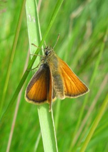 Small Skipper M Jeeves